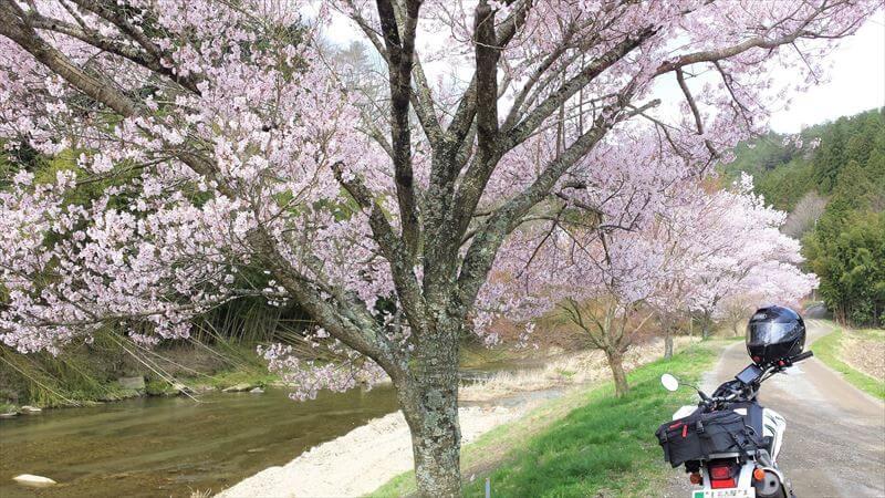 小川の堤防は桜の定番